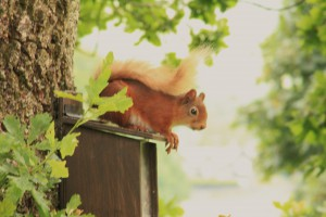 Red squirrel without ear tufts