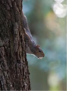 squirrel_grey