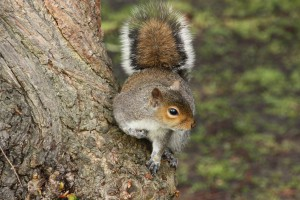 'Halo' effect on a grey squirrel's tail