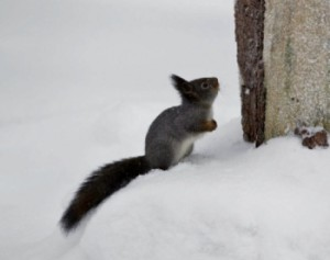 Red squirrel with a grey coat