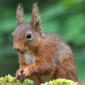 Red squirrel with ear tufts